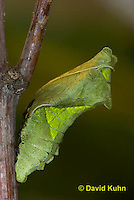 "1021-0802  Polydamas swallowtail Chrysalis ""Green Variation"" (Life Cycle Series), Battus polydamus  © David Kuhn/Dwight Kuhn Photography."