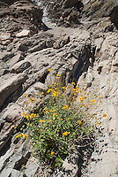 Encelia, Sloan Canyon National Conservation Area, Nevada