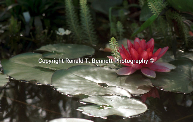 Red water lilies pool Nympheas flowering aquatic plant, Dicotyledoneae, Archichlamydeae, flowering plants bear petals separately, Ranales, petals on the stem, tropical water lilies, Lotus, Nelumbo, Water lily family, Hardies, California Fine Art Photography by Ron Bennett (c),  California Fine Art Photography by Ron Bennett,