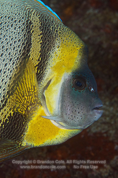 QT6376-D. Cortez Angelfish (Pomacanthus zonipectus). Note sharp spine pointing backward from cheek, the diagnostic feature distinguishing angelfish from butterflyfishes. Baja, Mexico, Pacific Ocean.<br /> Photo Copyright &copy; Brandon Cole. All rights reserved worldwide.  www.brandoncole.com