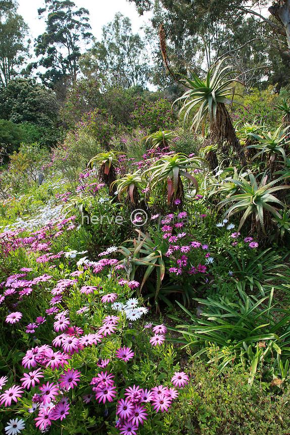 Le Domaine du Rayol:<br /> Osteospermum et alo&egrave;s dans le jardin D'Afrique du Sud.