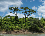 Two ceiba trees, the Tree of Life in Mayan mythology, on the Guatemalan shore of the Usumacinta River.