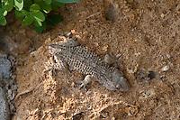 Mauergecko, Mauer-Gecko, Gecko, Hausgecko, hat Schwanz abgeworfen, Autotomie, Tarentola mauritanica, Moorish Wall Gecko, Salamanquesa, Crocodile gecko, European common gecko, Maurita naca gecko