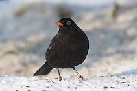 Amsel, Männchen an der Vogelfütterung, Fütterung im Winter bei Schnee, frisst Körner am Boden, Winterfütterung, Schwarzdrossel, Drossel, Turdus merula, blackbird, Merle noir