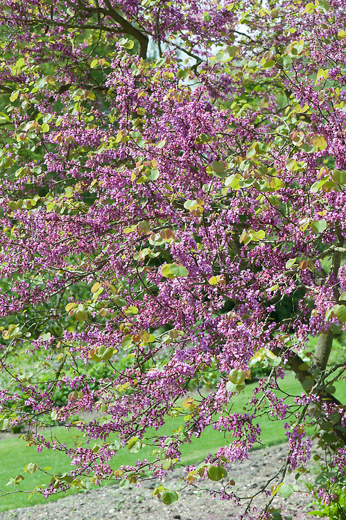 Cercis siliquastrum (Judas tree), late May.
