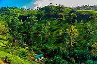 Mackwoods Labookellie Tea Estate, near Nuwara Eliya, Central Province, Sri Lanka.