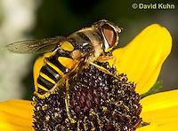0310-1208  Transverse Flower Fly (Hover Fly), Pollinating Flower,  Eristalis transversa  © David Kuhn/Dwight Kuhn Photography
