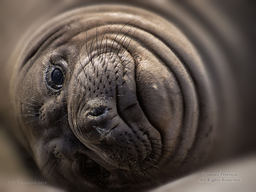 Elephant Seal, California Coast