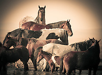 Equine Layers - Wild Horses - Mustangs at the waterhole - Utah