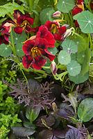 Black velvet Nasturtium flowers