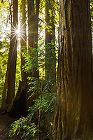 After arriving in the dark, we woke up the next morning surrounded by these majestic redwood trees in Samuel P. Taylor State Park, California.