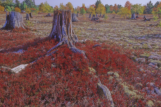 Long ago cut over forest stumps and blueberry shrubs in fall color stick out of a field of lichens and moss on the Kingston Plains in Michigan's Upper Peninsula, Alger County, Michigan.