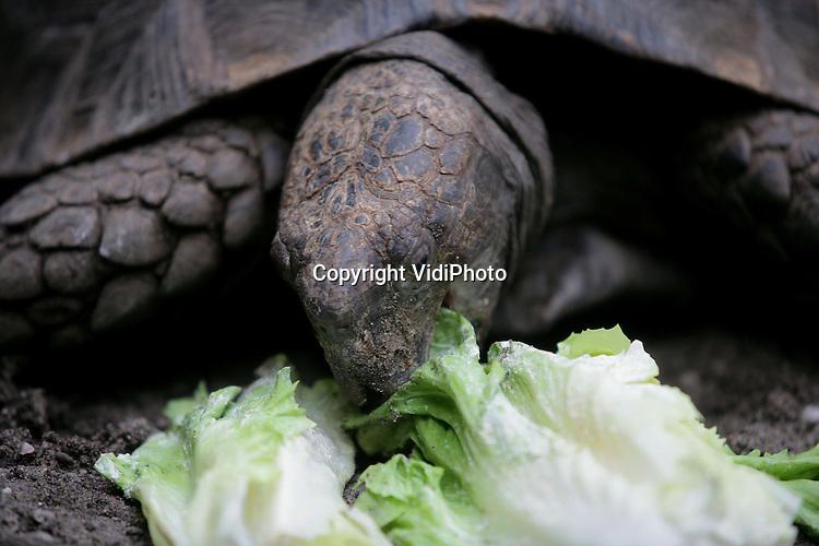 Foto: VidiPhoto..ARNHEM - Burgers' Zoo in Arnhem heeft een zeer zeldzame manouria op de kop weten te tikken, de enige in Nederland. De bijna uitgestorven zwarte landschildpad is de enige schildpad ter wereld die net als een vogel takjes en twijgjes verzamelt en daarvan een nest bouwt. Bovendien eet het dier sneller dan het loopt. Binnen enkele minuten heeft de schildpad een krop andijvie achter z'n kiezen.