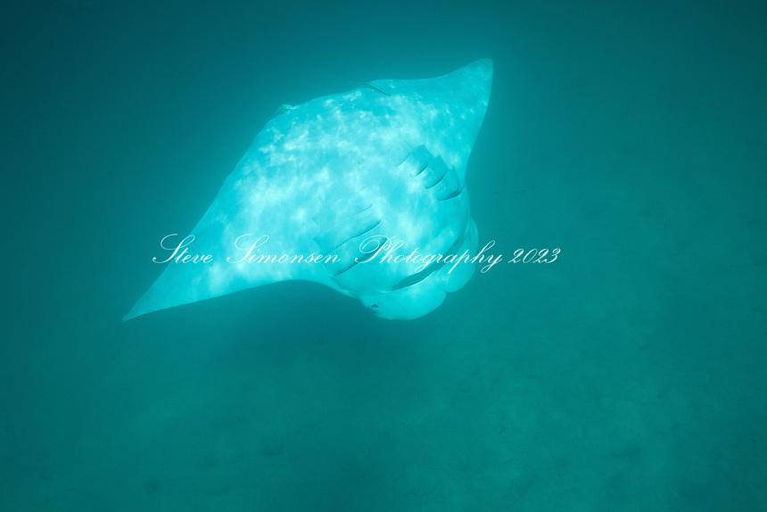 Manta (Manta birostris).Virgin Islands National Park.St. John.U.S. Virgin Islands
