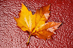 Wet leaves on the concrete in the back yard, autumn rain...Sycamore