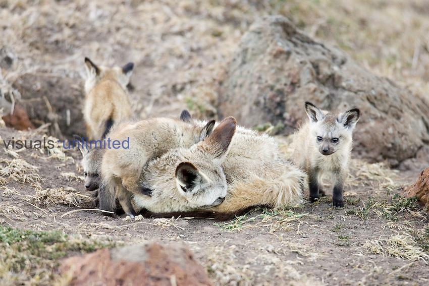 Bat-eared Fox family at their den ,Otocyon magalotis,, Africa.