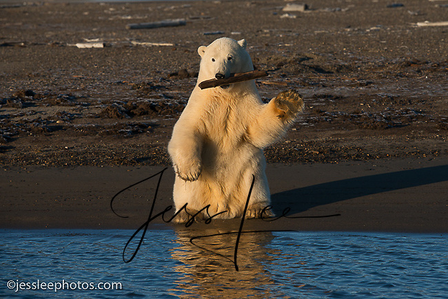 Polar bear playing with a stick while waiting for the water to freeze on the Beaufort Sea in Alaska.