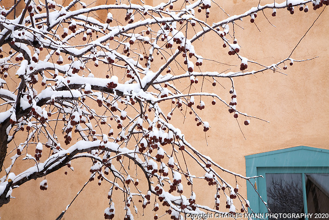 A crab apple tree becomes a dramatic sculpture during a winter snow fall on Canyon Road in Santa Fe, New Mexico