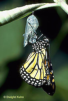 MO04-017z   Monarch Butterfly -adult emerging from chrysalis - Danaus plexippus