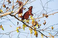 Variable Squirrel (Callosciurus finlaysonii) climbing tree branches. (Prey Veng, Cambodia)