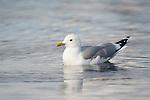 European Herring Gull, Larus argentatus, Kuhmo, Finland, Lentiira, Vartius near Russian Border, swimming on lake