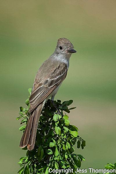 Brown-crested Flycatcher, Laguna Seca Ranch, Edinburg, TX