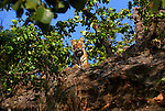 A bengal tiger cub looks down from a cliff  in Bandhavgarh National Park, Madhya Pradesh, India.