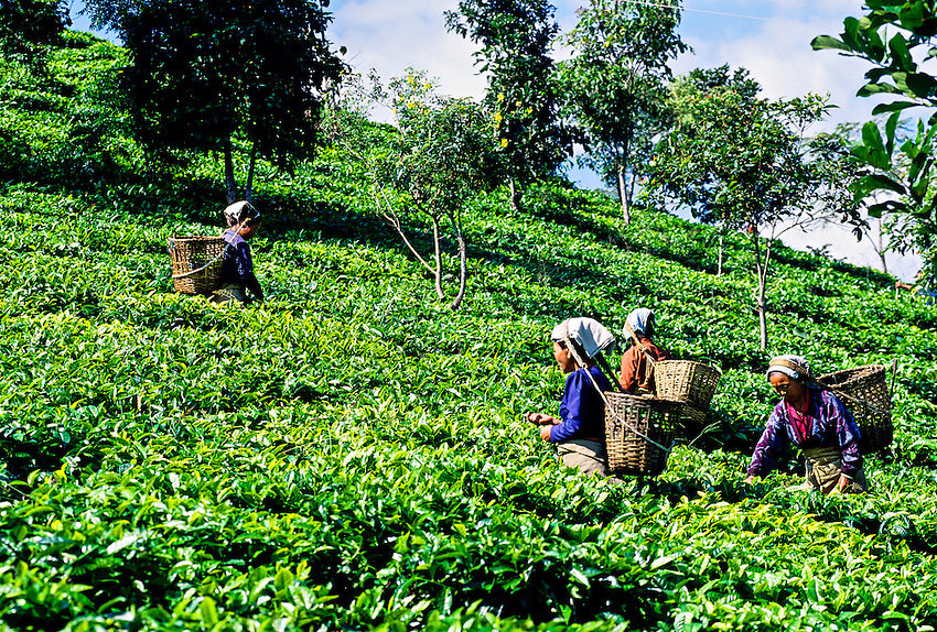 Women picking tea leaves near Darjeeling, West Bengal, India