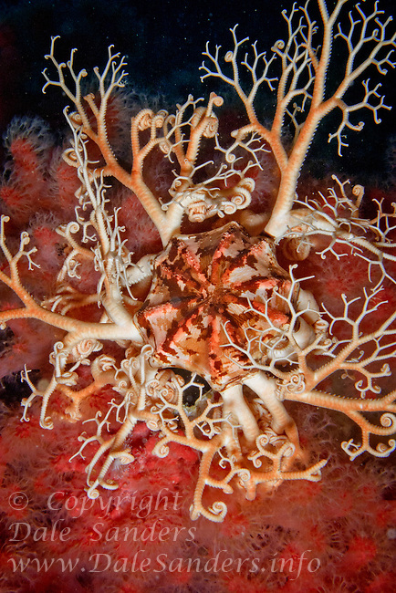 A Basket Star ( Gorgonocephalus eucnemis) rests on a garden of Pink Soft coral ( Gersemia rubiformis) in Browning Pass, off northern Vancouver Island, British Columbia, Canada.