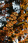 Over-wintering monarch butterflies
