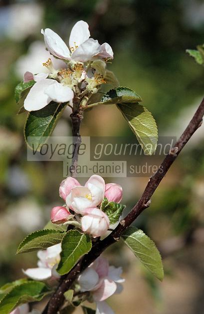Europe/France/Bretagne/56/Morbihan/Presqu'île de Rhuys: Détail de fleurs de pommiers dans un verger