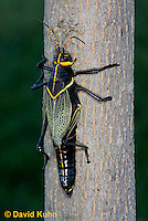 0913-0806  Adult Horse Lubber Grasshopper - Taeniopoda eques © David Kuhn/Dwight Kuhn Photography.