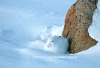 02206-001.10 Arctic Hare (Lepus timidus) in snow, Churchill  MB