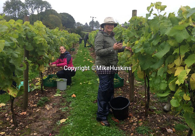 Bmth News (01202 558833)<br /> Pic: MikeHuskins/BNPS<br /> <br /> The whole village hepls out in the vineyard...<br /> <br /> A village pub skittle team who formed a wine-growing syndicate have bowled industry experts over with their award-winning version of Champagne.<br /> <br /> But wine lovers may struggle to lay their hands on a bottle of the tasty first vintage, as the two acre site barely produces enough vino to keep the thirsty locals happy...and you certainly won't find it in a main stream supermarket.<br /> <br /> The idea to plant their own grapevines came to the four drinkers in 2007 as a result of a conversation in their local pub in Shaldon, Devon.<br /> <br /> In 2013 the group, called Dalwood Vineyard, took their first harvest and in 2015 they celebrated its first bottle of sparkling wine which has now won a bronze medal in the prestigious Decanter World Wine Awards.