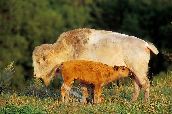 American Bison cow (albino) nursing calf.   National Buffalo Museum, Jamestown, North Dakota.