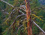 Wenatchee National Forest, WA<br /> Weathered Sitka Spruce with lichen covered branches near Rock Creek in the Wenatchee National Forest