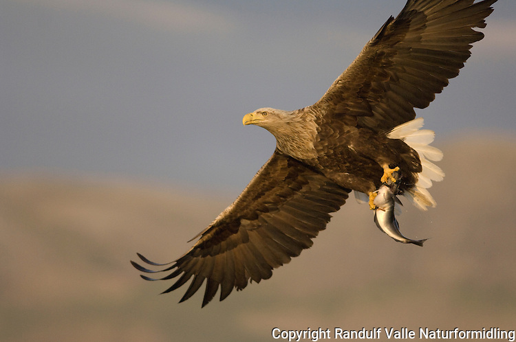 Havørn med fisk ---- White tailed sea eagle with fish