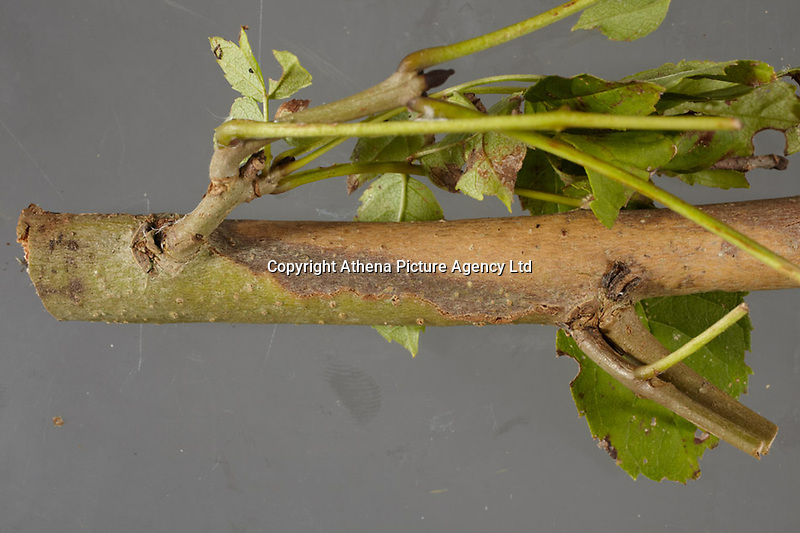 "Pictured: Symptoms of Chalara ash dieback. A fungal disease affecting the ash trees of Europe. Picture shows a diamond-shaped lesion on a branch of a tree.<br /> Re: Millions of diseased trees near buildings, roads and railways will have to be cut down because of a deadly fungus which is spreading through the ash trees  in the UK, a lot quicker than anticipated.<br /> Natural Resources Wales (NRW) warned of a ""very significant impact"" on the landscape and the Welsh government is setting up an expert group to advise on the issue.<br /> Wales has been particularly affected by the spread of ash dieback, which was first identified in the UK in 2012<br /> Its proper name is Chalara dieback, named after a fungus called Chalara fraxinea<br /> Symptoms include lesions at the base of dead side shoots, wilting and lost leaves and a killing off of new growth on mature trees<br /> The disease is spread by released spores and has swept across Europe over the past 20 years, affecting about 70% of ash in woodland<br /> Ash is an important species for nesting birds, insects and fungus<br /> It does not pose a risk to human or animal health"