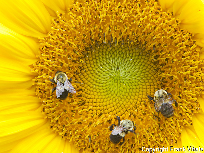 Bumblebees gathering pollen from mammoth sunflower