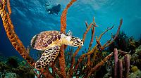 Scuba diver and Hawksbill sea turtle, Eretmochelys imbricata, in sponge, Bonaire, Netherland Antilles, Caribbean Sea, Atlantic Ocean, MR