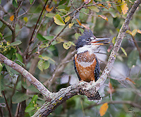 Female Ringed Kingfisher (Megaceryle torquata), identifiable by the colored patch below her neck, calls for her mate.  The Pantanal, Brazil.