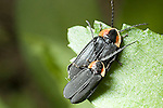 Firely, lightning bug, Lucidota atra
