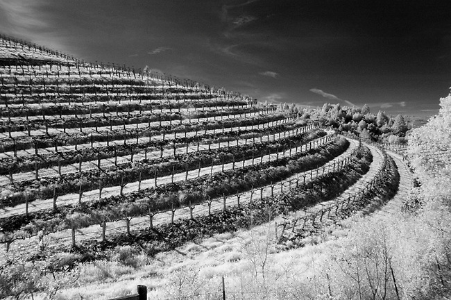 Infra red of old grape vines