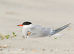 Common Tern (Sterna hirundo) brooding chick peeping out from under its wing, Nickerson Beach, Long Island, New York, USA