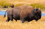 Bison Male, Nez Perce Creek, Yellowstone National Park, Wyoming