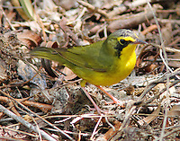 Adult male Kentucky warbler