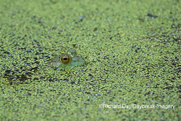 02471-00609 American Bullfrog (Lithobates catesbeianus) in pond with duckweed Marion Co. IL