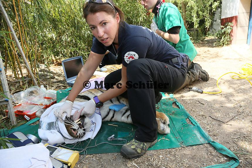 Betäubte Tigerin Cara wird untersucht von Tierärztin Johanna Painer  im Großkatzengehege des Tierheims Rüsselsheim
