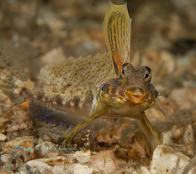 Lancers Dragonet, Paradiplogrammus bairdi