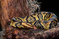 414484008 a captive cottonmouth moccasin agkistrodon piscivorous lays coiled on a tree stump while sensing its surroundings using its tongue - species is native to the southeastern united states